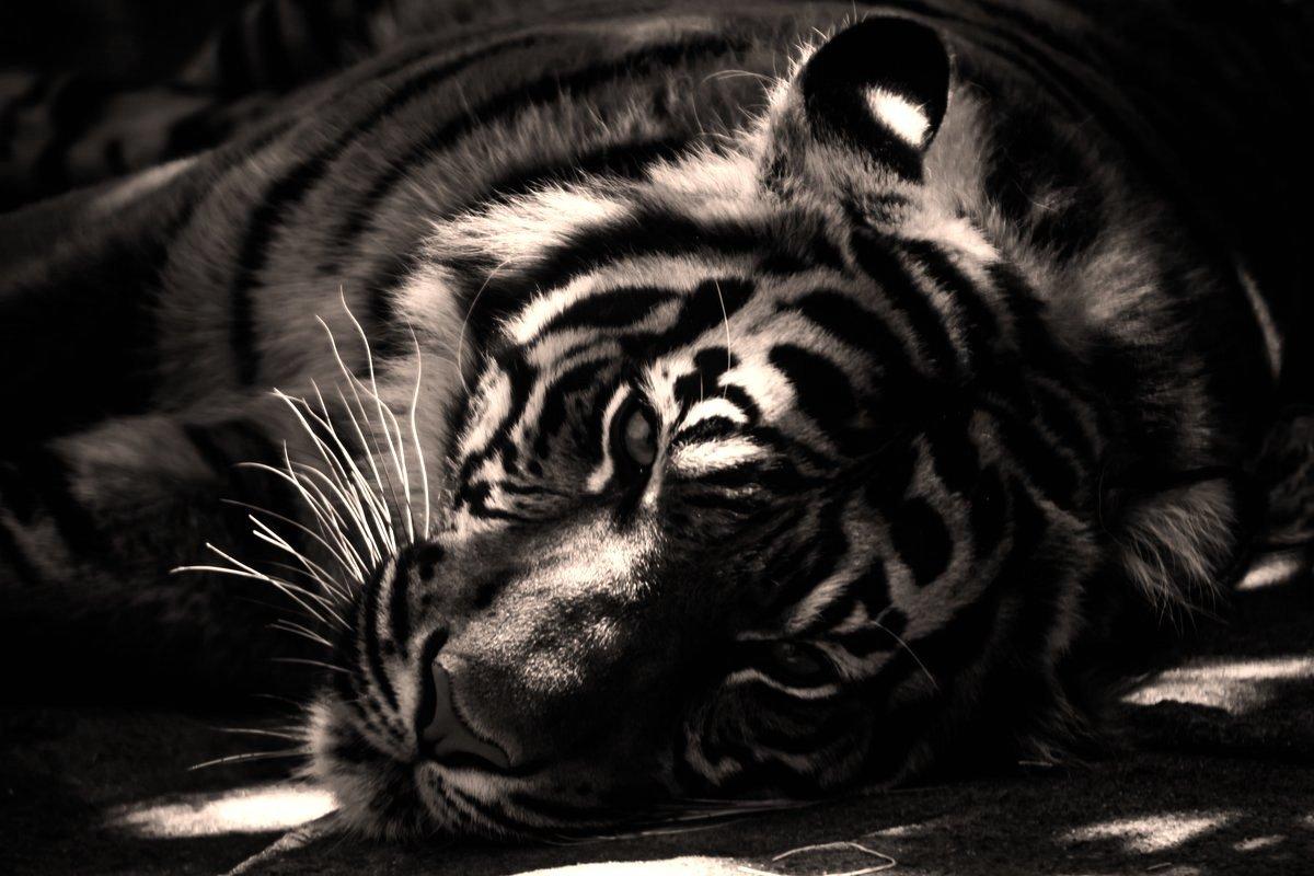 Wallpaper Tiger Wall In Darkness Fp 3942 Sklep Internetowy Wally